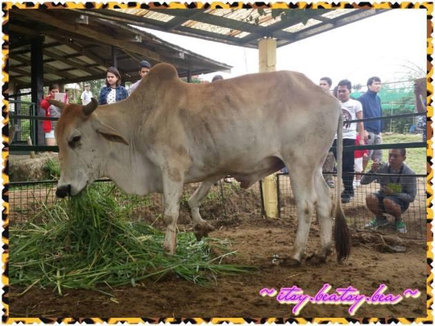 A bad photo of the 5-legged Bull